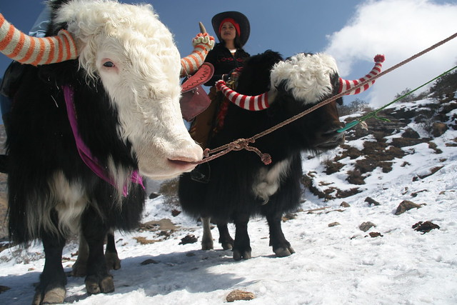 Two yaks and a