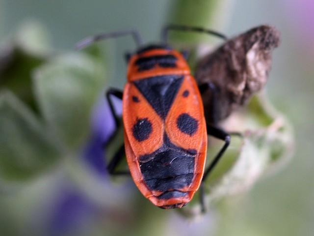 Poll de moro - Chinche roja (Pyrrhocoris apterus)
