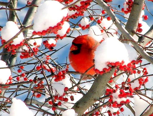 Cardinal Eathing Hawthorne Berries