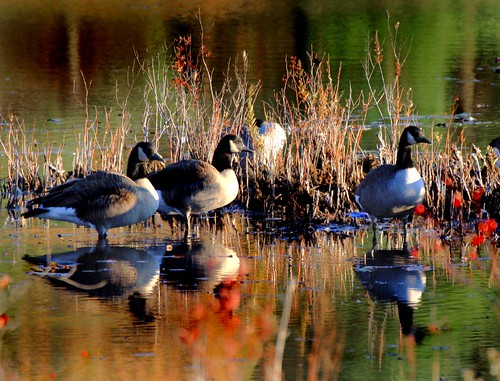 water reflections pond massachusetts canadiangeese westfield inspire migrating honkers excellantphotographersawards