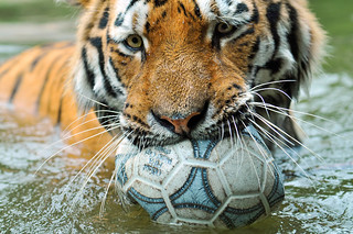 Playing with the ball 3 | by Tambako the Jaguar