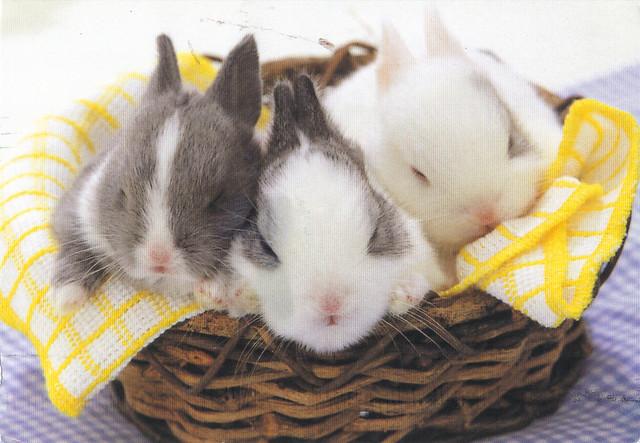 Baby Bunnies Postcard