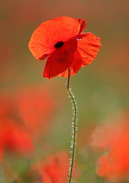Norfolk Poppy