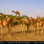 Yemen - Camels on the way from Ibb to Zabid