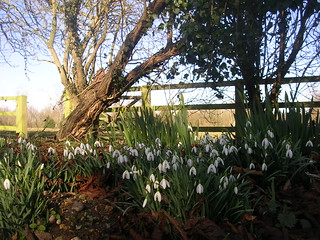 Snowdrops, Coggeshall Abbey