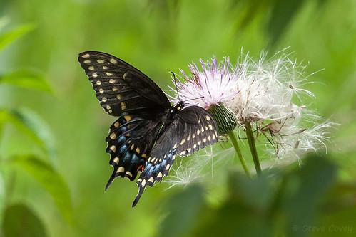 blackswallowtail papiliopolyxenes papilionidae lepidoptera insect butterfly swallowtail upperwing corkscrewswampsanctuary florida usa