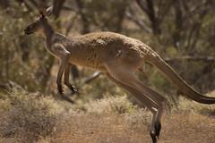 Jumping kangeroo   Gawler Ranges National Park, Australia