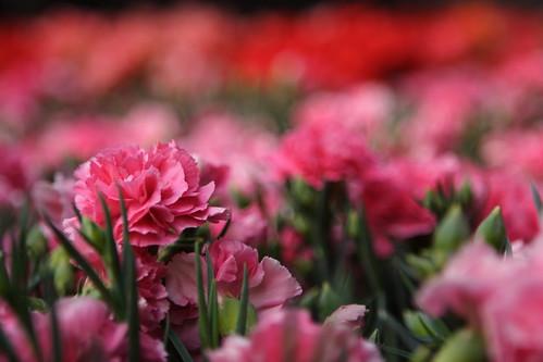 carnation field