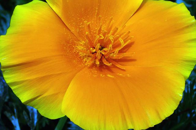 Golden Poppy C95_6147