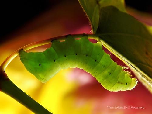 verde green fat olympus caterpillar oruga zd copperunderwing deciabodden
