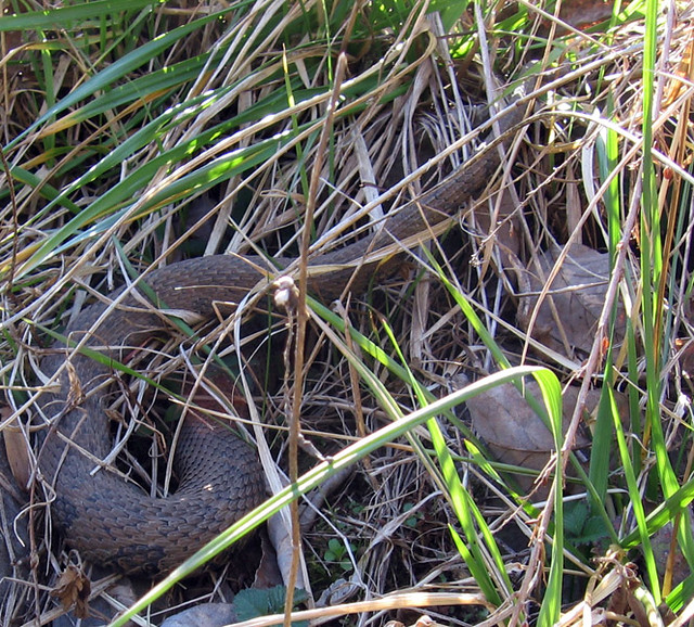 Nerodia sipedon, White County, TN