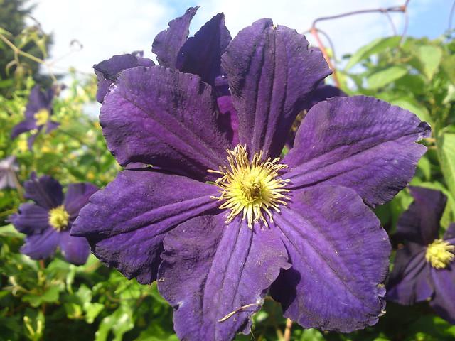 dsc00743 - Purple Clematis