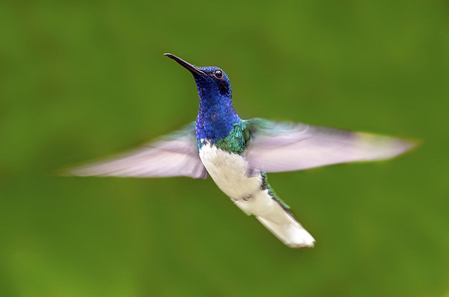 White-necked Jacobin Hummingbird (Florisuga mellivora) in flight, Asa Wright Nature Center, Trinidad.