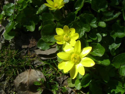 Ficaria verna (= Ranunculus ficaria) - ficaire 32578408080_01238e8a2d