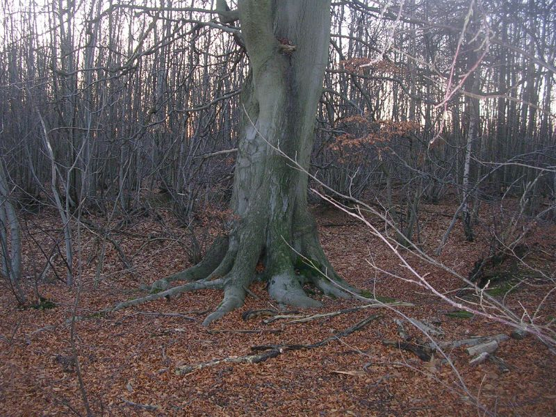 tree in a wood Yalding to Borough Green