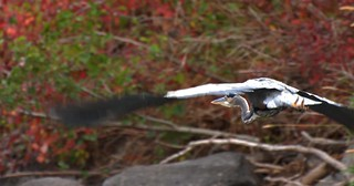 Fall Heron | by Scott Butner