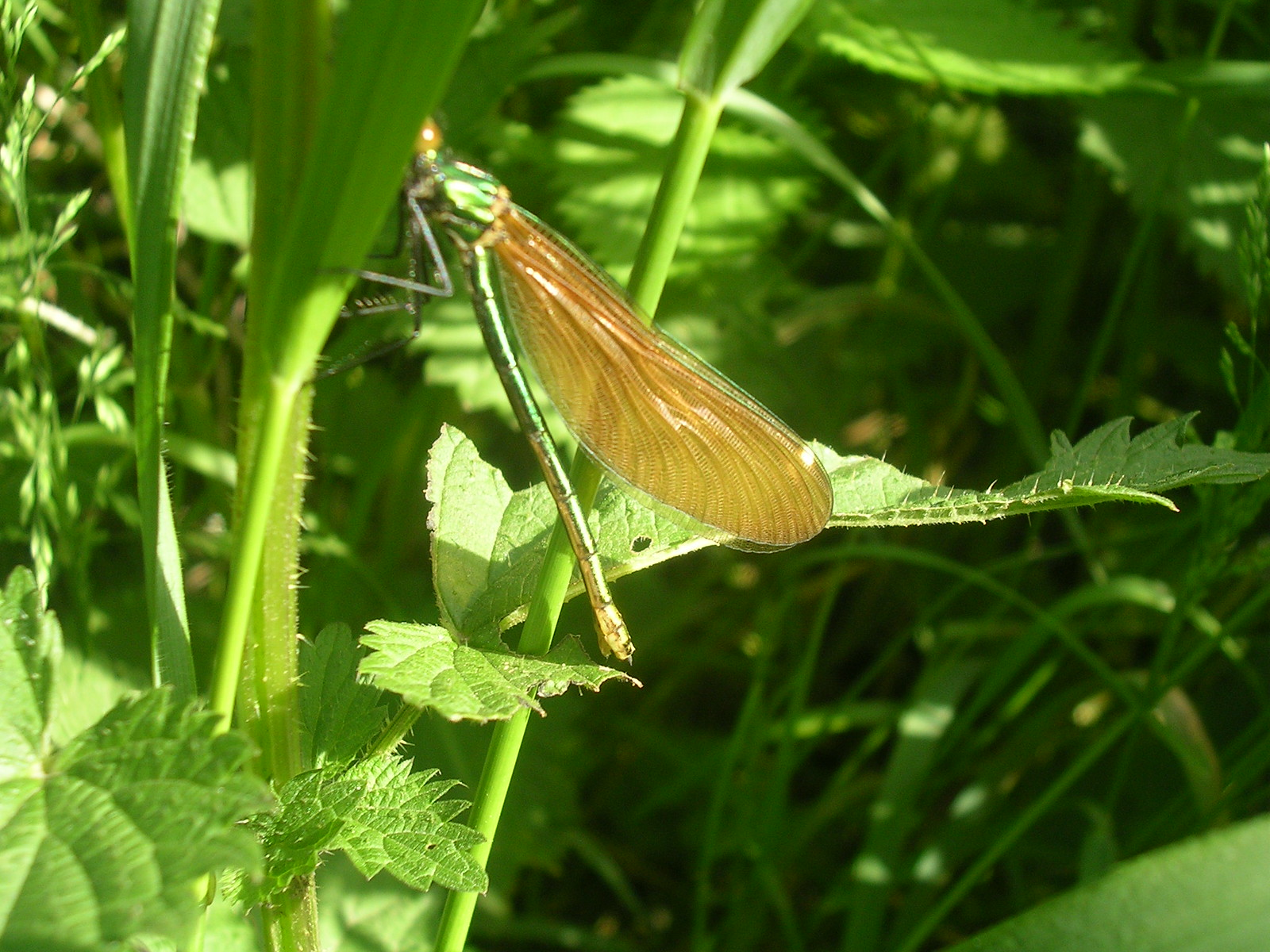 Agrion virgo Damselfly. female. Hever to Leigh