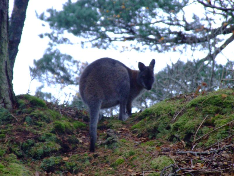 A Wallaby Smile Houghin Huggin Flickr