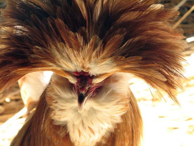 Buff Laced Polish Chicken
