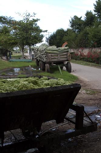 Henequen-waste