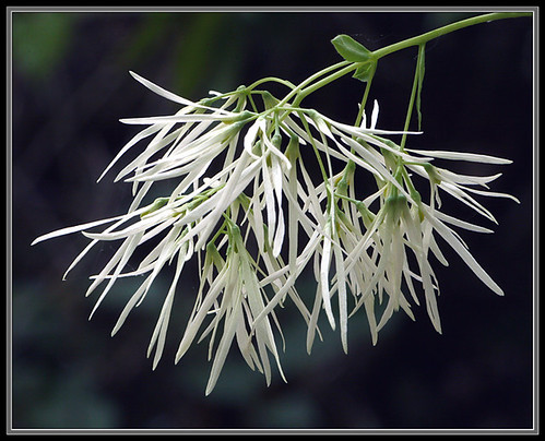 Chionanthus virginicus | by no thneeds needed