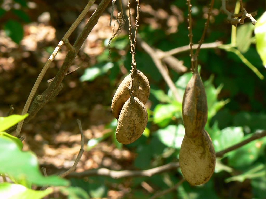Karaja OR Karanja (Marathi: करज OR करंज) | Fabaceae