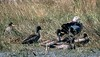 Blue-winged Goose and Yellow-billed Ducks by Pia's birdseye view