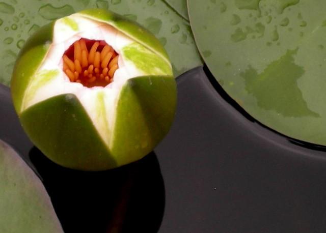 waterlilybud
