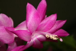 Easter Cactus | by hickoryrose