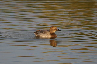 Canvasback-IMG_3747-Campbell-Crop | by gimlack