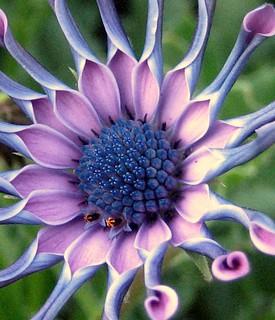 La flor de Africa