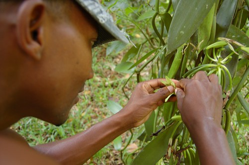 Hand Pollinating A Vanilla Orchid Every Day Farmers Go