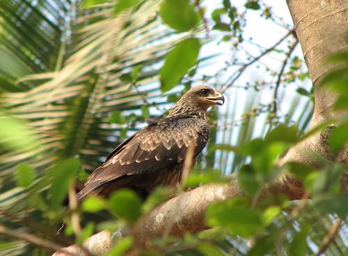 india kite bird eagle birding raptor predator karnataka scavenger mangalore pariahkite krayker wildxplorer