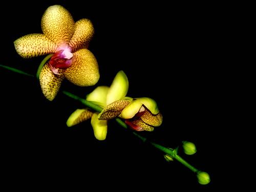 pink plant orchid flower color macro green yellow virginia stem blossom vivid richmond greenhouse tropical bloom bud onblack chrysti lewisginterbotanicalgarden lewisginterbotanicalgardens