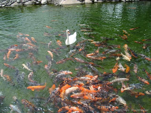 Rosarigasinos - SafariBA - Meeting  'n Temaiken - Argentina - Swans - 3