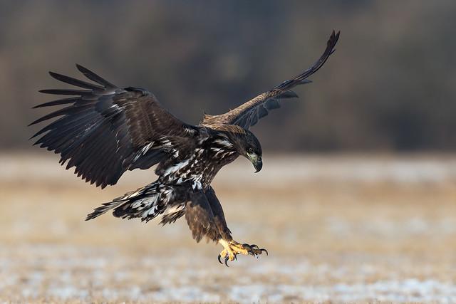 Talons - White-tailed Eagle