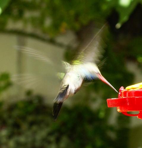 colibrí barrido