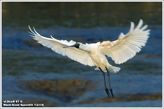 Black-faced Spoonbill | by oLDcaR