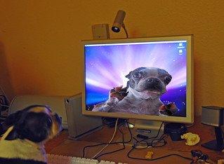 Boston Terrier Dating Online | by Don Hankins