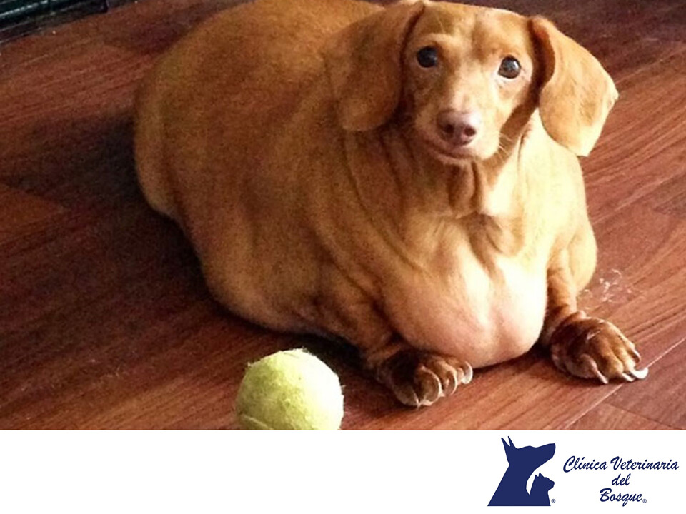Quiero ayudar a mi perro a bajar de peso. CLÍNICA VETERIN..