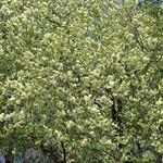 Prunus lannesiana Wils. 'Grandiflora' / Ukon Sakura / 鬱金桜(うこんざくら)