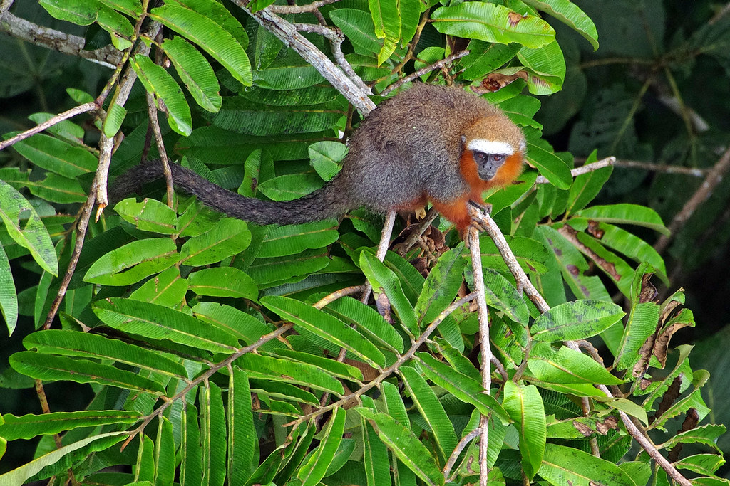 Dusky titi monkey (Callicebus moloch) seen from the metal canopy tower at Sacha Lodge by  Río Napo, Ecuador.  Spotted during a birding trip organized by Field Guides Inc.