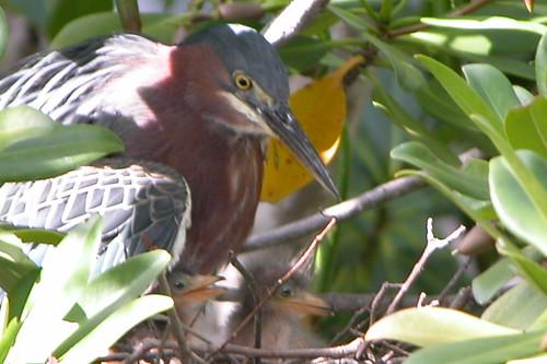 Greenback Heron-4 | by keywest aquarium