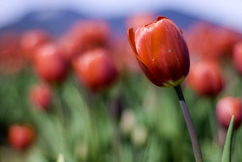 agassiz tulip fields