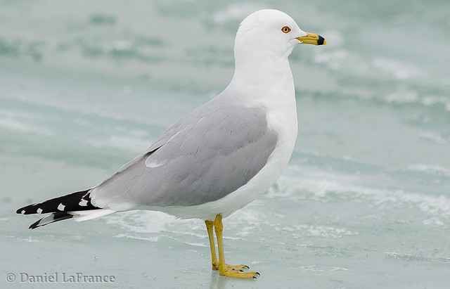 Gull on ICE (DOL-AB-8315)