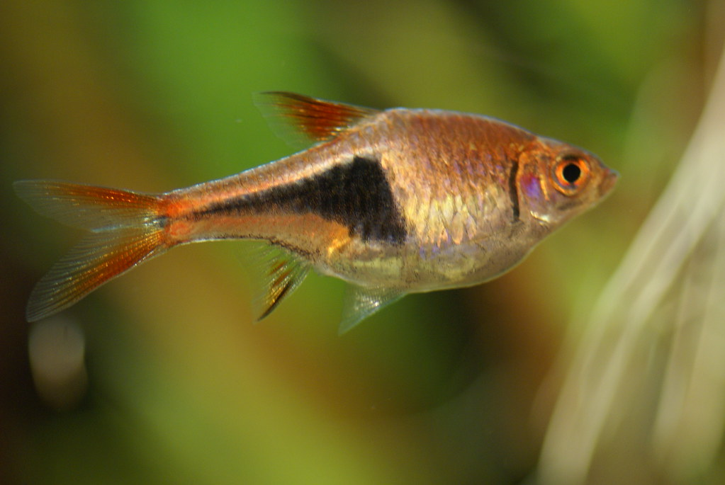 Image result for harlequin rasbora