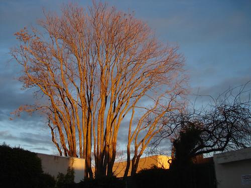 sunset tree chico
