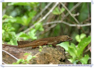 20041024_Guana@BVI_Crested Anole_001_A | by rosstsai