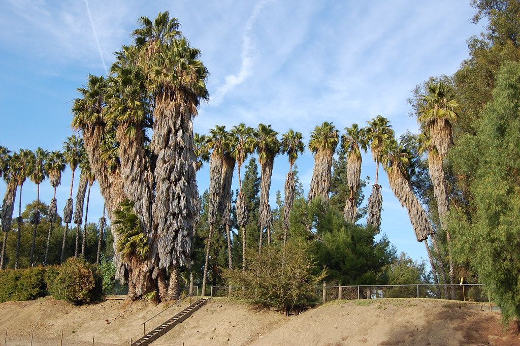 Untrimmed palm trees | This is what they look like when the … | Flickr