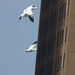 Flickr photo 'Ross's Geese in flight over Chicago' by: jweckstein.